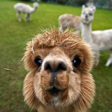 Alpaca's in Boekel