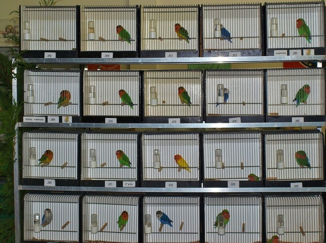 Vogelshow in Nia Domo, Kwekersgoud 50 jaar!