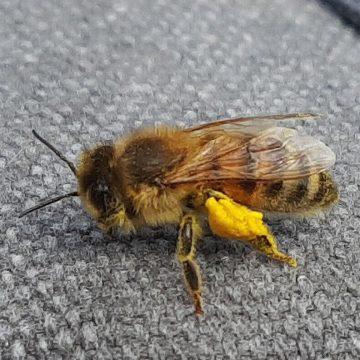 Honingbijen actief