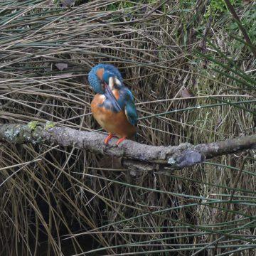 IJsvogel bij de Perekker
