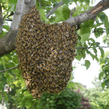 Let op: bijenzwerm gezocht!