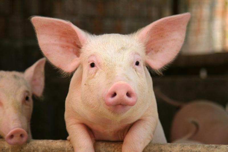 Stank van varkenshouderijen is de afgelopen jaren nauwelijks verbeterd