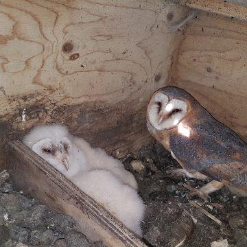 Jaarlijkse kerkuilenonderzoek Vogelwerkgroep