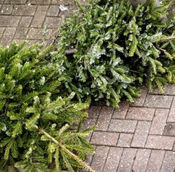 Inzamelen kerstbomen