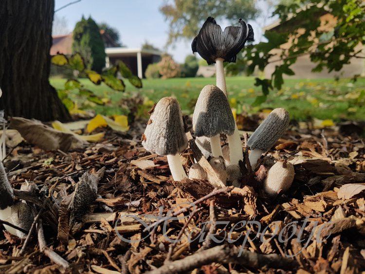 Volop paddenstoelen in Boekel en Venhorst