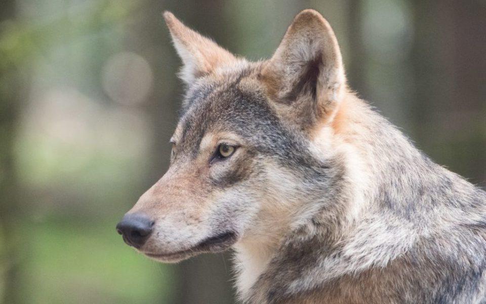'We moeten dealen' met wolf op schapenjacht