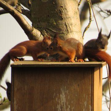 Jonge eekhoorntjes gespot